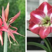 Garden Tips To Plant Amaryllis Flowers