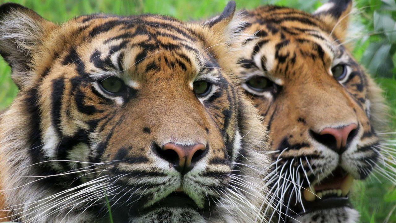 Tierpark Cottbus Was bedeutet der Tod von Tiger Tangse für den Cottbuser Tierpark?