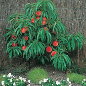 How To Grow Highly Productive Dwarf Peach Trees In Your Garden