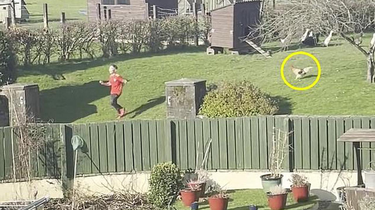 Beware of the 'killer cockerel'! Moment rampaging rooster Derek Jr chases screaming boy, 10, across his garden as family reveals how they live in terror of their pet chicken