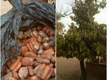 Cocoa Tree Survives In Upper West Region