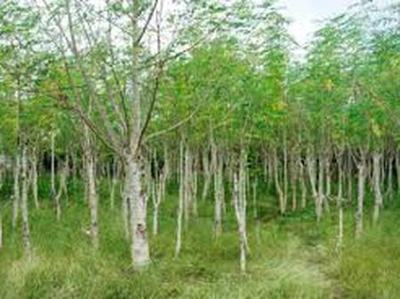 Economic Potentials of Moringa Oleifera As Commercial Tree Specie