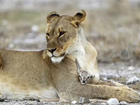 After She Lost Her Cubs, Here Is What This Lioness Did To A Baby Antelope