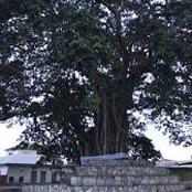 The Tree Is 300-Year-Old And Always Turns To A Human Being At Night, Read For More Details