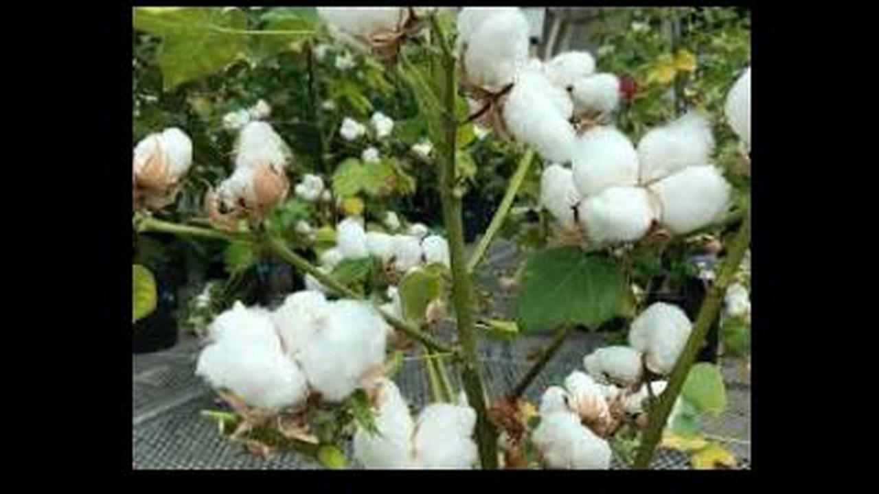 Cotton farmers happy to get more than MSP