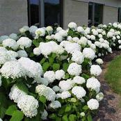 How To Grow Smooth Hydrangea In Your Garden