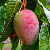 Tips To Grow A Mango In Your Garden From Its Seed Level