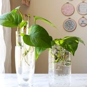 Here is The Reason Most Plants Are Better Grown In Water At Home