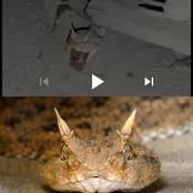 Ever heard of a snake that cries like a baby? Watch the video