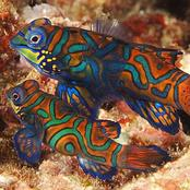The colourful blue mandarin fish