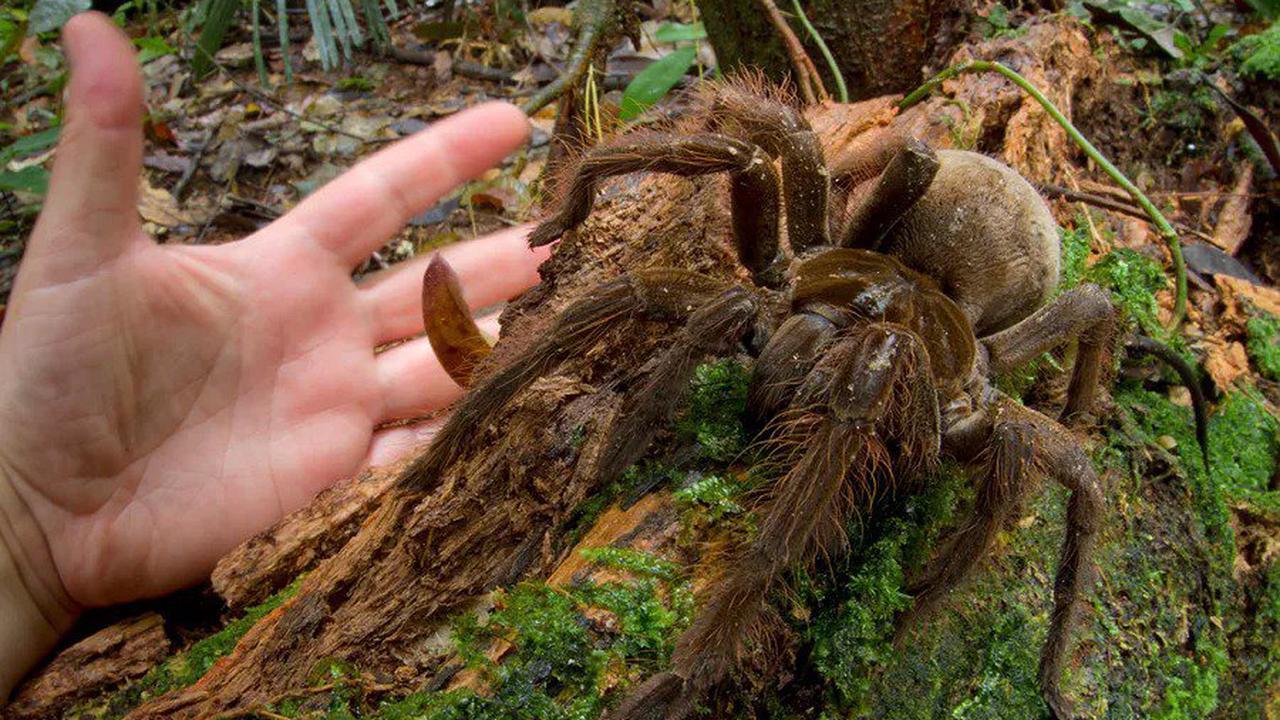 Mygale Goliath : faites connaissance avec la plus grosse araignée du monde