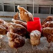A simple way to start a poultry business
