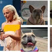 See the huge amount of money Lady Gaga promised to give whoever finds her stolen bulldogs.