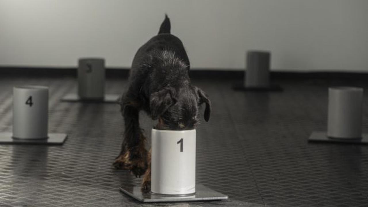 Czech trainers teach dogs to sniff out COVID