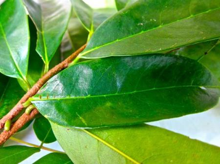 Bay Leaf And It's Health Benefits, Which Many People Don't Know.