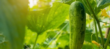 Garden Q and A: Cucumbers and peppers grown in pots