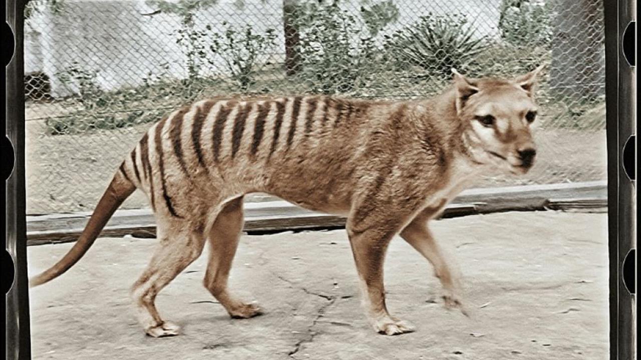 """Une vidéo en couleur pour faire """"revivre"""" le tigre de Tasmanie, espèce éteinte il y a plus de 80 ans"""