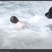 Protective dog rescues a little girl from the sea. People are stunned by this dog