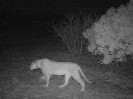 A female lion seen roaming freely in Phalaborwa. Residents warned to be on the lookout at night.