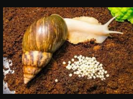 Steps On How To Start A Snail Business In Nigeria