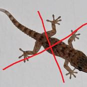 Best tricks to get rid of wall geckos quickly from your house.