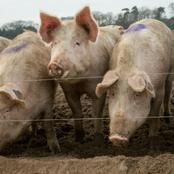 Meyer Ban the sale of pigs.