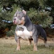 Take a look at the shortest muscular dog breed