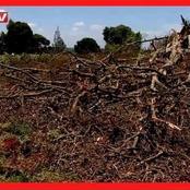 Tension High as Mugumo Tree Falls in Kiambu Days After Kikuyu Elders Carried Out Rituals