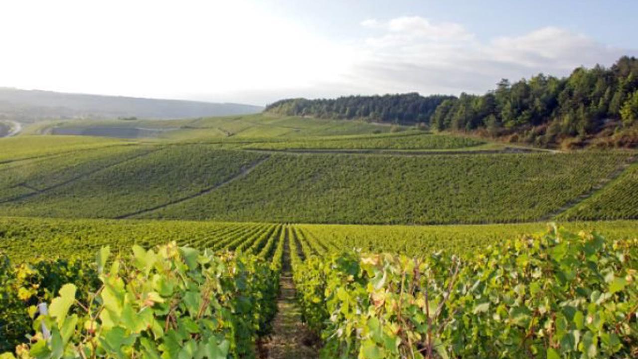 La traction animale est présente autant en viticulture bio que raisonnée (Activer)