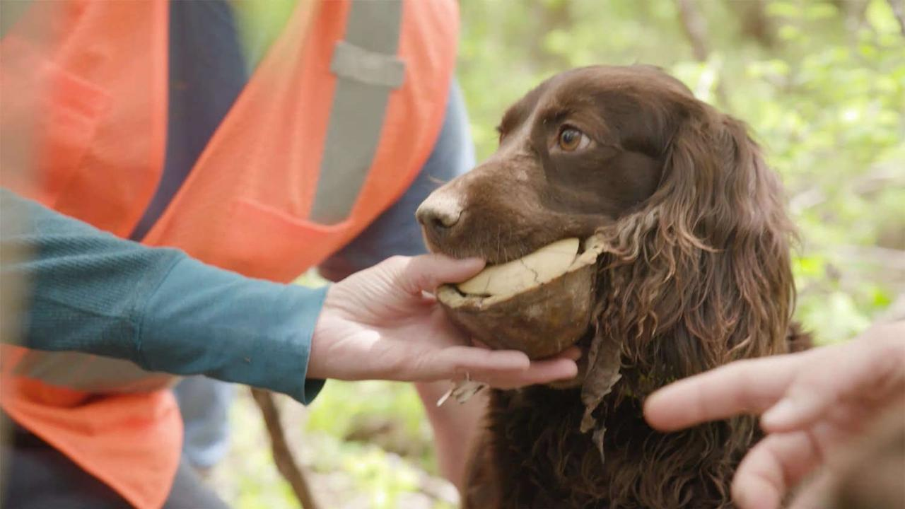 Reptile-Sniffing Dogs Become Research Assistants to Help the Saint Louis Zoo Save Box Turtles