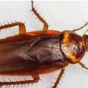 How to Get Rid of Cockroach in Your House Permanently in Three Days
