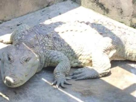 Mysterious 80-Year-Old Crocodile Worshiped as a god in a Part of Yoruba Land