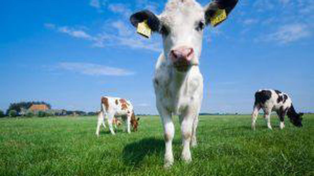 Les fermiers britanniques utilisent la bouse de vache pour miner Ethereum (ETH)