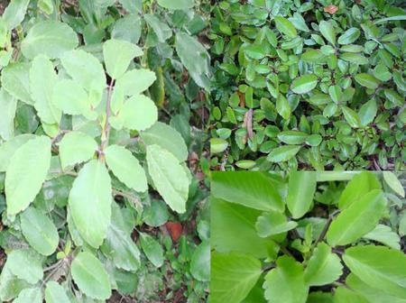"""Preparation Of """"Leaf Of Life"""