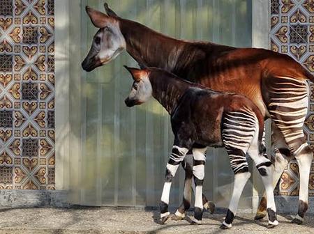 The Okapi that look like a zebra