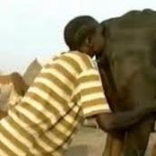 Savoir d'Afrique : faire couler le lait d'une vache facilement