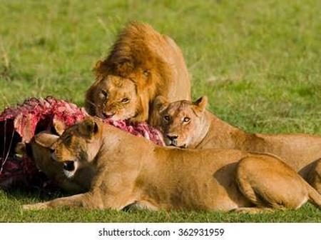 A Cash Reward of 10 million Shillings Offered After Six Lions Got Poisoned