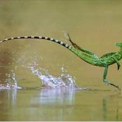 Why would this lizard be called Jesus Christ Lizard ?
