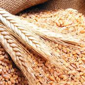 وزارة التموين تبدا باستلام القمح من المزارعين