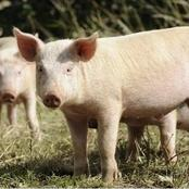 Can you keep Pigs in your garden ?