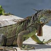 Animal Farming 101: What is the life span of a Lesser Antillean iguana