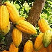 Le cacao ivoirien et l'Union Européenne : un ambassadeur fait d'importantes révélations