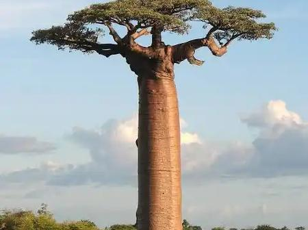 The African Baobab tree is the oldest living flowering pants. It can live for more than 1000 years