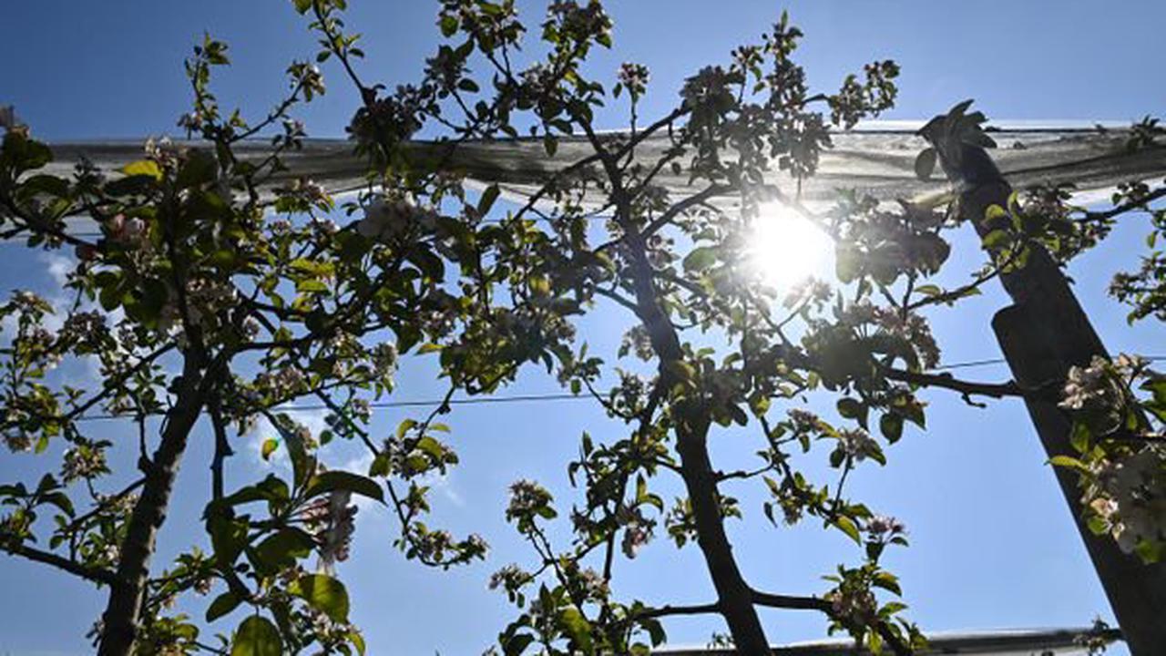 """Dégâts du gel : la récolte """"réduite à néant"""" pour certains arboriculteurs en Savoie"""