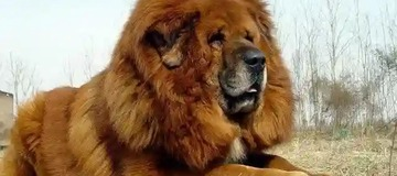 See Dogs that look exactly like Lions