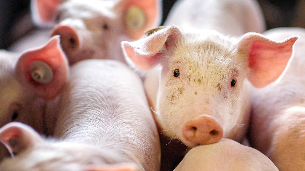 Tierschutz in den Wahlprogrammen: Ein schöneres Leben für Ferkel & Co