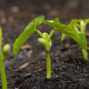 How To Grow Beans In You Garden