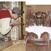A look inside the temple where rats are fed and worshiped as gods