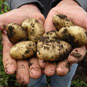 The 3 Gardening Steps To Harvest Potatoes Massively In Your Garden