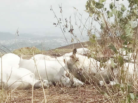 Again, 50 Cows Die Mysteriously In South-West Of Nigeria. See What Killed Them.